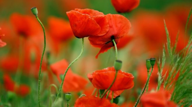 Poppy-flowers-are-bright-and-splashy-–-heres-why-730x410